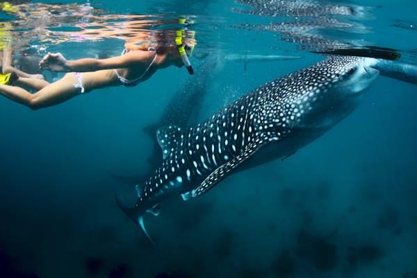 Australiens vestkyst udflugter svøm med hvalhajer