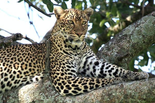 rundrejse_i_Østafrika_Masai_mara_leopard