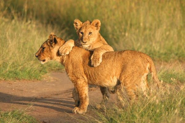 rundrejse_i_østafrika_lserengeti_nationalpark_løve