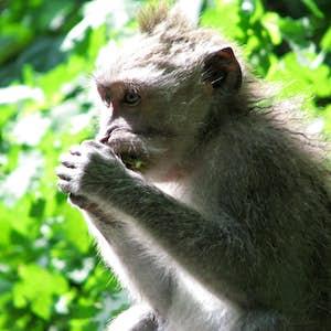 rejse til bali monkey forest