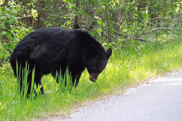 canada sorte bjørne