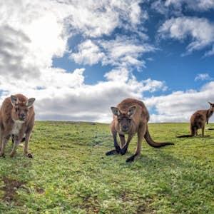 rejser i november australien kangaroo island
