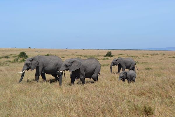 Elefanter i masai mara, safari i Kenya