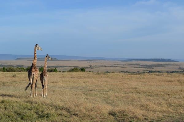 Giraffer Masai Mara Kenya safari
