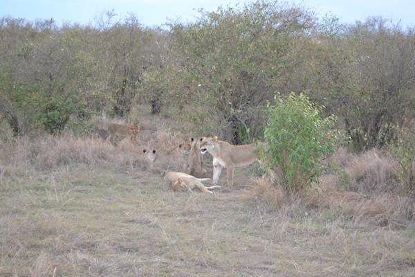 Stor løvefamilie i Masai mara, kenya safai