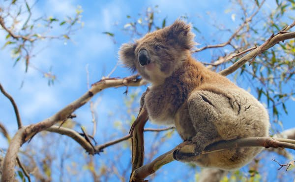 koala i austatralien